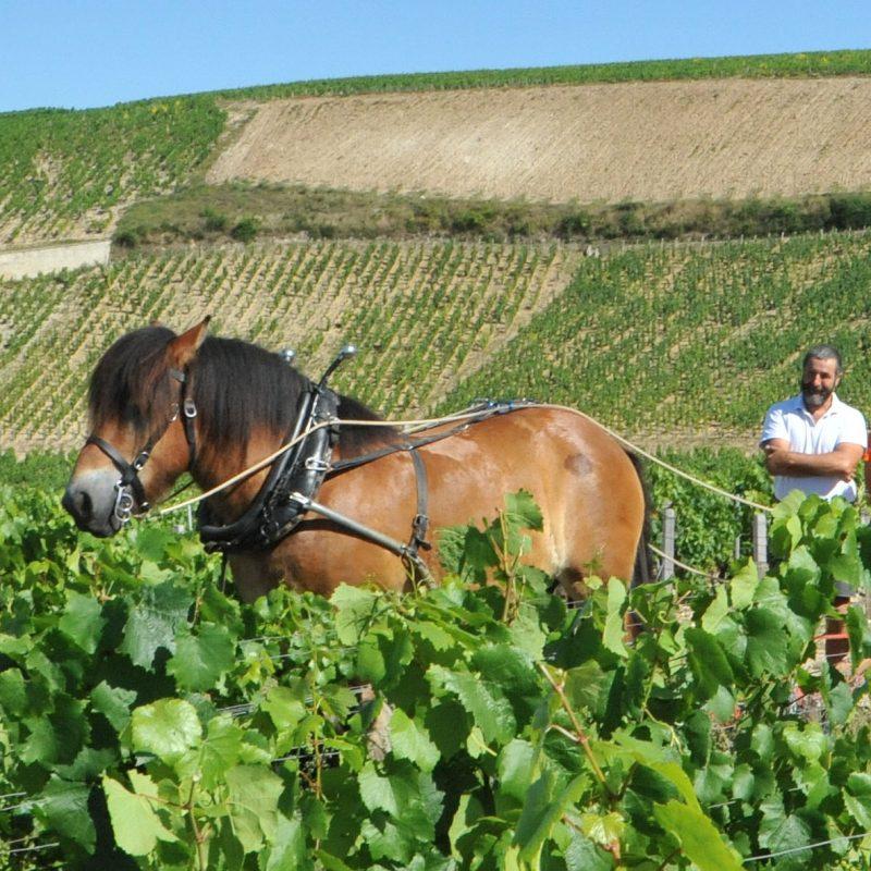 cheval-vigneron-01